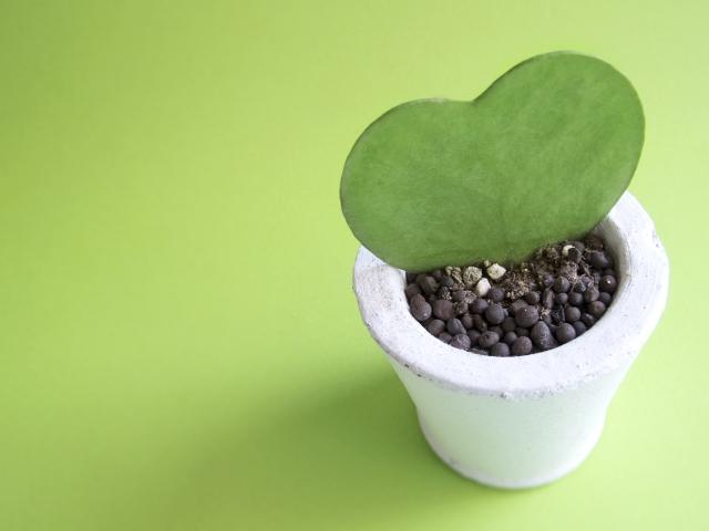 ハートの植物